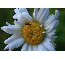 Dazzed Daisy Photographic Print