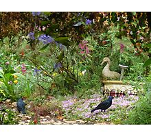 Two male satin bower birds out the back. Photographic Print
