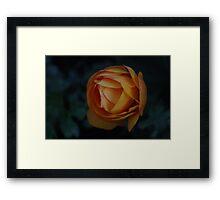 Blazing Orange Spring Rannunculus Framed Print
