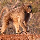 Chacma Baboon, Kruger National Park, South Africa by Erik Schlogl