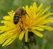 LOVE AFFAIR WITH DANDELIONS by Betsy  Seeton