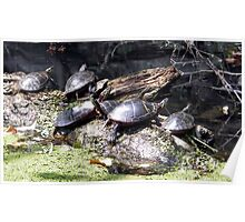 The Sunning Turtles Poster