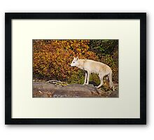 My First Timber Wolf Framed Print