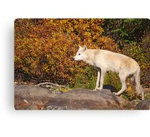 My First Timber Wolf Canvas Print