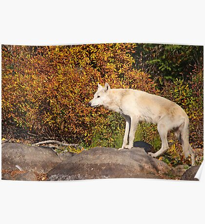 My First Timber Wolf Poster