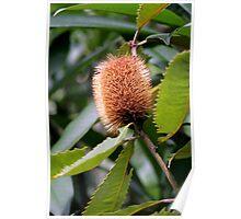 A Bottlebrush Banksia Poster
