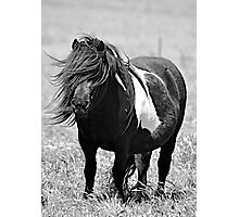 Shetland Pony mare in Black and White Photographic Print