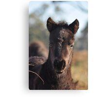 Peekaboo - Shetland pony foal. Canvas Print