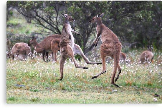 Kangaroos tail standing by Ian Berry