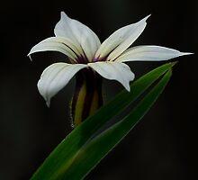 Blue Pigroot Flower by pcbermagui
