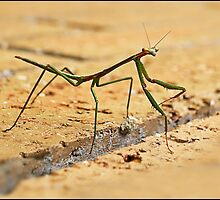 Preying Mantis by Helenvandy