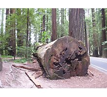 Avenue of the Giants 2 Photographic Print