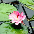 Water Lily by Jasna