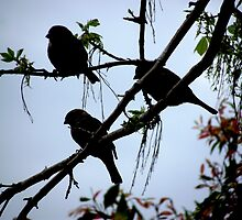 Silhouette of Sparrows in the Sycamore tree by waxyfrog