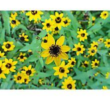 Tropical Rudbeckia Triloba  Photographic Print