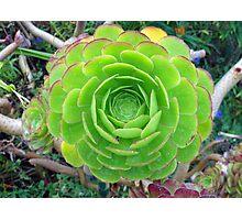 Monterey Aeonium  Photographic Print