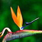 Bird of Paradise by Kate Wall