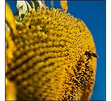 sunflower and bee Photographic Print