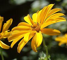 a sunflower in Austria  by Deshley1997