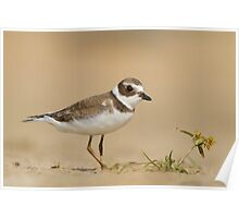 Semipalmated Plover and a Beach Flower. Poster
