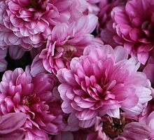 Asters by karina5