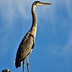 Great Blue Heron  by Saija  Lehtonen