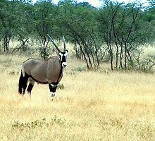 Gemsbok - Oryx gazella - Gemsbuck by Rina Greeff