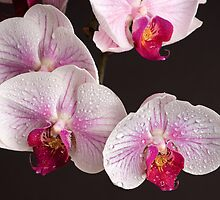 Print 30 - Orchids by jmccloud