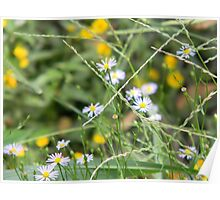Spreading Aster Poster