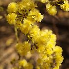 Acacia truncata by kalaryder