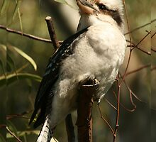 The Kookaburra by Kezzarama
