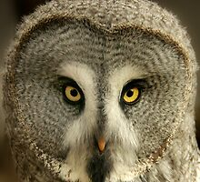 Owl Portrait by Denise McDonald