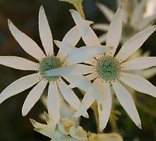 Flannel Flower Pair by Denise McDonald
