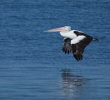 Pelican by Peter Whitworth