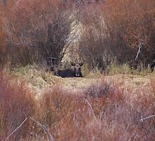 """""""Montana Moose At Rest - Lincoln, Mt."""" by Robbie Robinson"""