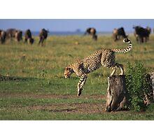 Cheetah Fastest Predator on Earth Photographic Print