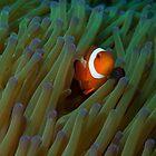 Clown Anemone, Si Amil Island, Malaysia by Allan Saben