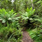 Tree Ferns. The Otways. by John Sharp