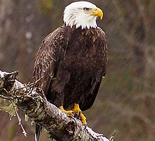 Skagit River Bald Eagle (Large) iPhone case. by Todd Rollins