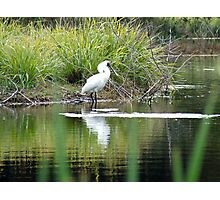 Spoonbill Contemplations Photographic Print