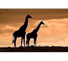 Courting Giraffe Silhouette Photographic Print