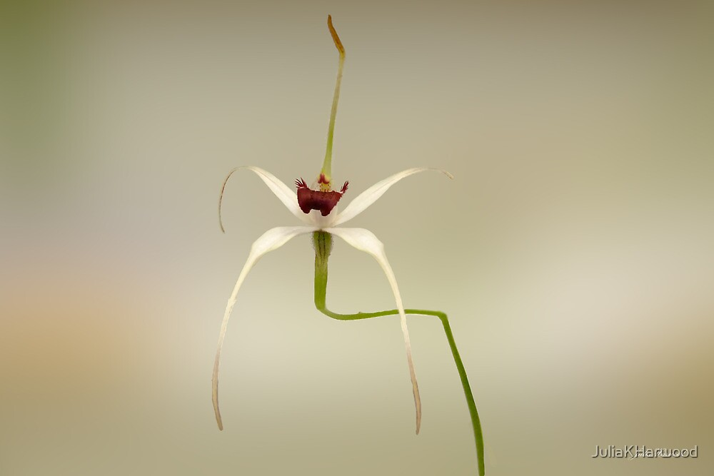 Exotic Spider Orchid, Caladenia nivalis by Julia Harwood