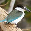 collared kingfisher 1 by birdpics