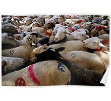 Transhumance of flock of sheep Poster