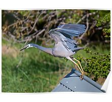 White-faced Heron Poster