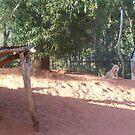 Australian Dingo by LESLEY B
