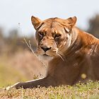 Lioness at Werribe Zoo by Peter Smith