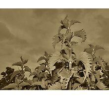 Nettle Photographic Print