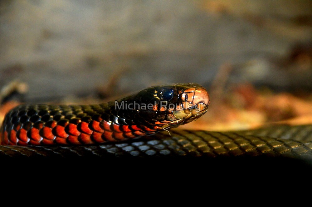 Red Bellied Black Snake by Red Milk Snake Venomous