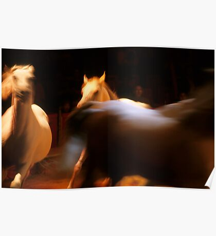 Three white horses running in arena Poster